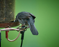 Gray Catbird. Image taken with a Nikon D5 camera and 600 mm f/4 VR lens (ISO 1250, 600 mm, f/5.6, 1/1250 sec).