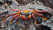A Sally Lightfoot Crab, Grapsus grapsus, crawls along the water line of Bartolome Island, Galapagos