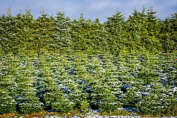 Christmas trees growing on a farm in South Lanarkshire<br /> <br /> (c) Andrew Wilson | Edinburgh Elite media