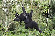Mountain Gorilla<br /> Gorilla gorilla beringei<br /> Juveniles climbing vines<br /> Parc National des Volcans, Rwanda<br /> *Endangered species