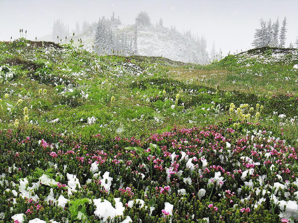 Late summer snowfall on blooming alpine flowers in Glacier Peak Wilderness, Washington.