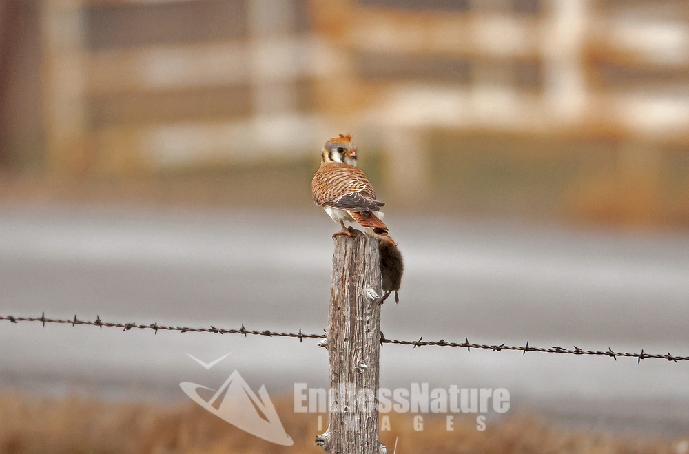An American kestrel stands on a fence post with the mouse it just caught.