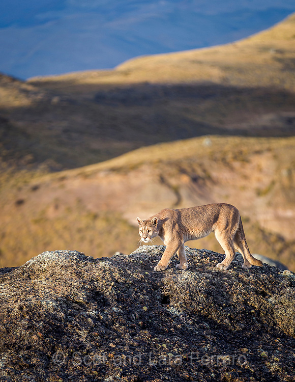 A puma walks along a ridge in Torres Del Paine National Park in Chile. Their coloring is perfect camouflage for the environment.