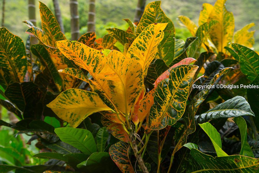 Croton, Waipio Valley, Hamakua Coast, Island of Hawaii