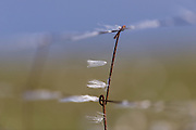 I love finding little details like this. Strands of bog cotton caught in the rusty fence on the exposed Hoy moorland.