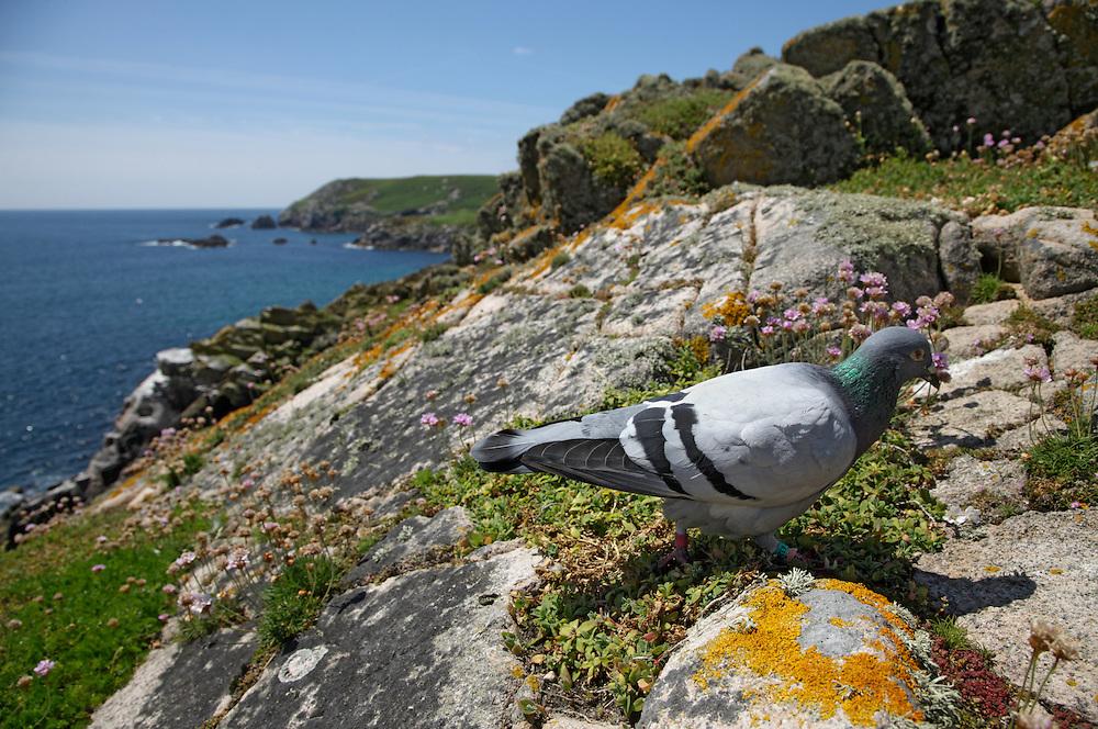 Rock dove, Columba livia, in landscape, Ireland, Saltee Islands South East coast