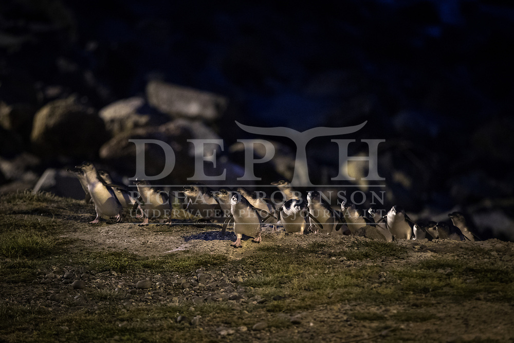 A raft of little Blue Penguins return at dusk to the Oamaru Blue Penguin Colony, New Zealand.<br /> 11 October 2016<br /> Photograph Richard Robinson &copy; 2016