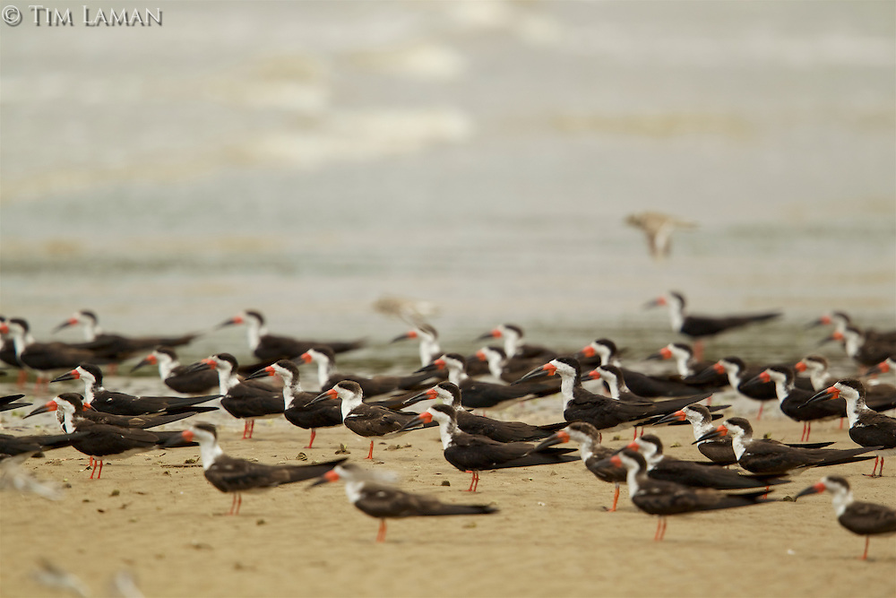 A group of Black Skimmers (Rynchops niger) standing at the water's edge in the Orinoco River Delta, Venezuela.