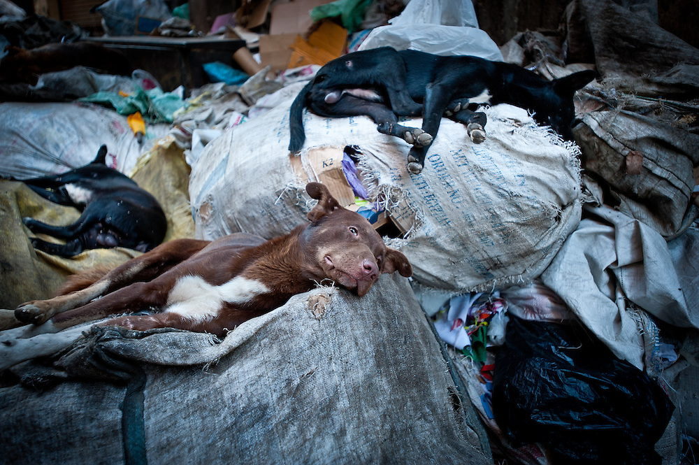 Dogs sleep atop a garbage pile.