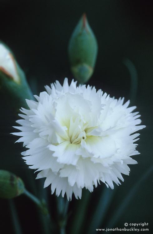 Dianthus 'Devon Dove'- Carnation, Pink