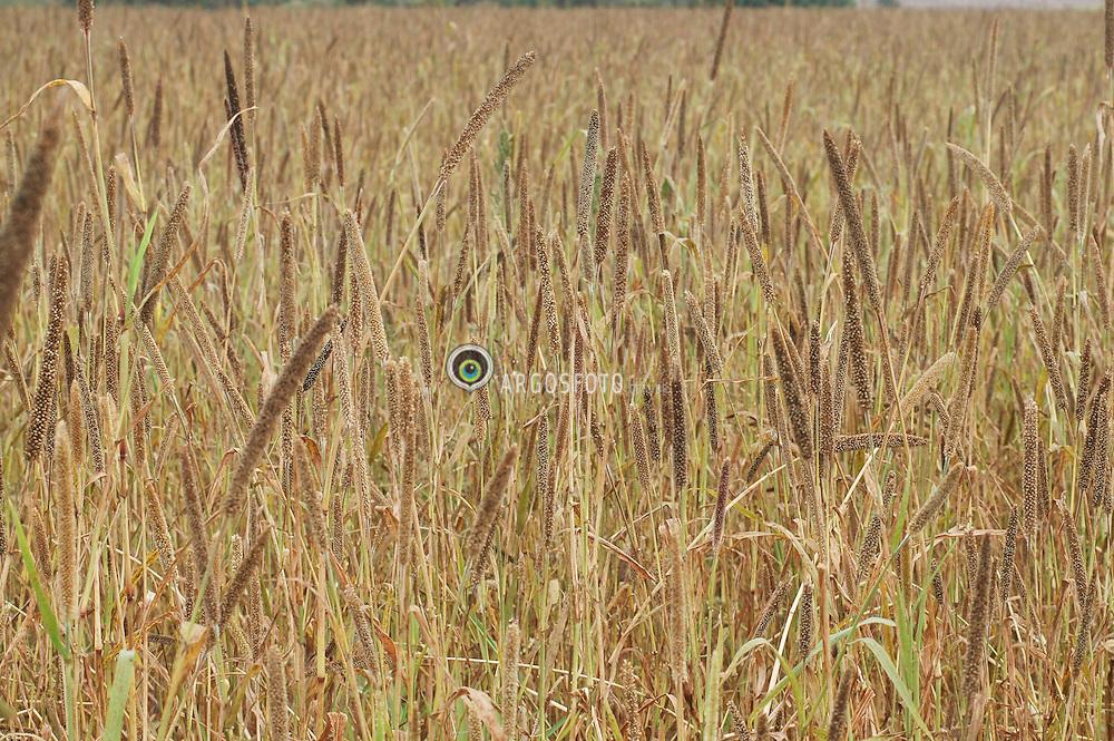 Plantacao de sorgo na regiao centro-oeste. // Sorghum plantation in the Midwest region. Foto: Candido Neto/Argosfoto - Jaciara, Mato Grosso - Brazil - 2006