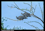 Helmeted Guineafowl<br /> Samburu National Reserve, Kenya<br /> September 2012