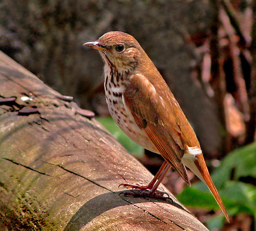 A wood thrush in the Native Fauna Garden.