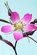 Rosa glauca  - wild rose