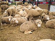 14 AUGUST 2019 - DES MOINES, IOWA: Sheep used in mutton busting at the Iowa State Fair. The Iowa State Fair is one of the largest state fairs in the U.S. More than one million people usually visit the fair during its ten day run. The 2019 fair run from August 8 to 18.                PHOTO BY JACK KURTZ