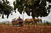 Hundreds attend HarvestFest, a weekend festival at Sonoita Vineyards along the Arizona Wine Trail, Elgin, Arizona, USA.  Guests participate in activities including grape stomping competitions and tastings and pairings.  Arizona Horseback Experience provide horse-drawn vineyard tours.