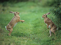 Two aggressive hares