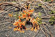 Orange trumpet creeper flowers pyrostegia venusta growing in volcanic soil, Lanzarote, Canary islands, Spain
