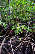 Mangrove forest Zanzibar.  Species Rhizophora