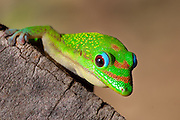 Close-up of a Madagascan day gecko (Phelsuma madagascariensis madagascariensis )