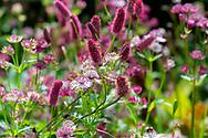 Astrantia major and Sanguisorba menziesii in a border at Stockton Bury Gardens, Kimbolton, Leominster, Herefordshire, UK