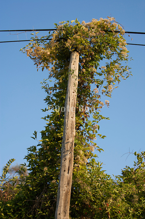 old telephone wire pole becoming entangled with climbing weeds