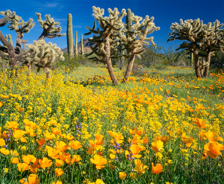 0112-1089D ~ Copyright: George H. H. Huey ~ Spring bloom with Mexican gold poppies, cholla cactus and saguaro cactus. Sonoran Desert. Organ Pipe Cactus National Monument. Arizona.
