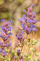 Close up of the purple sage, a desert member of the mint family that grows in full sun with little moisture.