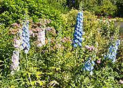 Blue and pink delphiniums flowers in country garden, Cherhill, Wiltshire, England, UK