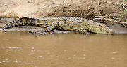 Nile Crocodile (Crocodylus niloticus) at the bank of Mara River, Kenya.