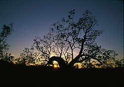 The sun sets behind a Kimberley boab.