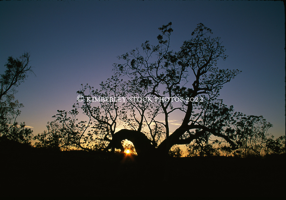 The sun sets behind a Kimberley boab.