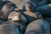 Northern Elephant Seal [Mirounga angustirostris] young & sub-adults hauled out on the beach to rest; Piedras Blancas, CA