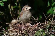 Cardinal Nest Day 9 First Flight