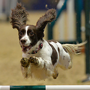 15.12.2017 London Olympia International Horse Show <br /> The Kennel Club Agility Small Dogs finals