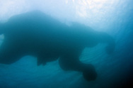 An underwater view of an elephant and his mahout swiming in the Andaman Sea during a break from their daily routine of logging.  Mahout's and their elephants have a unique relationship that often begins at a young age and lasts for the lifetime of the mahout.