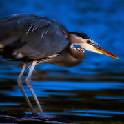 A Great Blue Heron hunts at night.