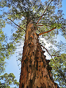 "Rebar rungs allow anyone to climb the public Diamond Tree, a 51-meter tall Karri (Eucalyptus diversicolor) mounted with a fire lookout. Drive 10 km south of Manjimup on the South Western Highway, in Western Australia. Growing up to 90 meters, Karri trees stand amongst the tallest species on earth. Published in ""Light Travel: Photography on the Go"" book by Tom Dempsey 2009, 2010."