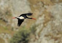 Black stork (Ciconia nigra) Monfrague National Park, Extremadura, Spain