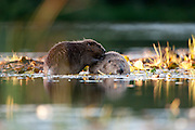European Beaver (Castor fiber) low angle picture of a pair of beavers preening each other. Mutual grooming.