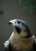 Off the Wall 2005<br /> This image by Mara Lavitt, staff photographer at the New Haven Register is of a peregrine falcon that resides at Wind Over Wings in Clinton. The image is printed on silk with fabric dyes.