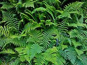 Sword Ferns (Polystichum munitum) Bracken Ferns (Pteridium aquilinum)