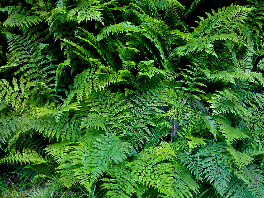 Sword Ferns (Polystichum munitum) Bracken Ferns (Pteridium aquilinum)