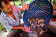 14 MAY 2013 - BUA PAK THA, NAKHON PATHOM, THAILAND:  The owner of a road side stalls stocks his stand with fresh shrimp he sells in Nakhon Pathom province. Early mortality syndrome, better known as EMS -- or Acute Hepatopancreatic Necrosis Syndrome, (AHPNS) as scientist refer to it -- has wiped out millions of shrimp in  Thailand, the leading shrimp exporter in the world. EMS first surfaced in 2009 in China, where farmers noticed that their prawns had begun dying en-masse, without any identifiable cause. By 2011, shrimp farms in China's Hainan, Guangdong, Fujian and Guangxi provinces were suffering losses as great as 80%. Farmers named the disease based on its immediate effect - Early Mortality Syndrome. After China, EMS devastated shrimp farms in Vietnam and Malaysia. The province of Tra Vinh, Vietnam, saw 330 million shrimp die in the month of June 2011 alone. In Malaysia, where EMS first emerged in 2010, commercial prawn production declined by 42%. EMS hit Thailand in early 2013. As a result of early die offs in Thailand many farmers left their shrimp ponds empty and stores that sell shrimp farm supplies have reported up to 80% drop in business as shrimp farm owners have cut back on buying.        PHOTO BY JACK KURTZ