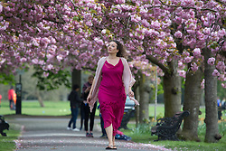 © Licensed to London News Pictures. 12/04/2017. Greenwich, UK. Londoner Rachel Jenkins pauses to enjoy the popular blossom in Greenwich Park, south east London. Photo credit : Rob Powell/LNP