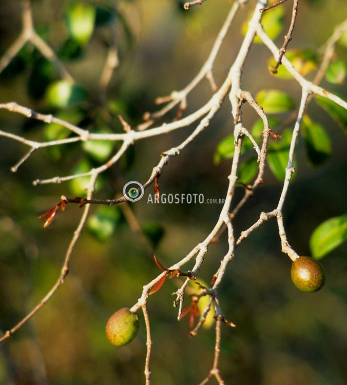 Mangaba, fruto da mangabeira, tambem conhecida como mangaba-ovo. Comestivel e utilizada na fabricacao de sucos, sorvetes, doces e bebida vinosa./ Mangaba is the fruit of Hancornia speciosa, also known as mangaba egg. It is edible and used to make juice, ice cream, candy and wine