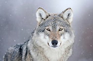 Portrait of European wolf (Canis lupus) in snowfall, Norway (c)