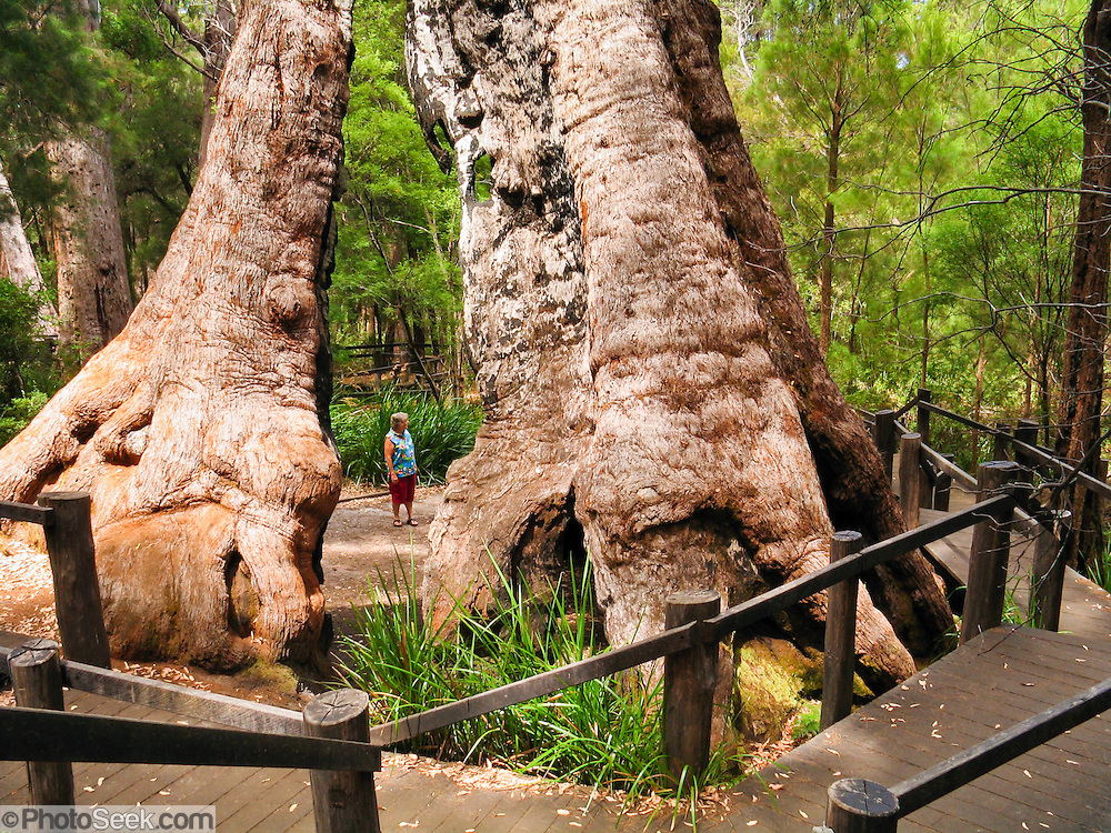 The Giant Tingle Tree is the largest known living eucalypt in the world, measuring 24 meters in circumference at the base. See it in Walpole-Nornalup National Park on the Bibbulmun Track, which starts on Hilltop Road between Walpole and Nornalup, in Western Australia. The inside of the base is burnt out from severe fires of 1937 and 1951, but the tree still lives and grows from tissue under the outer bark. Red Tingle trees (Eucalyptus Jacksonii) are only found in and around Walpole-Nornalup National Park, nowhere else on earth.  Growing up to 75 meters or more tall, with circular girth of up to 26 meters, Red Tingle trees can live over 400 years.