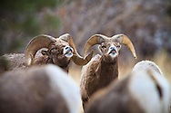 Bighorn Sheep Rams  Sniffing the air in a group of Ewes