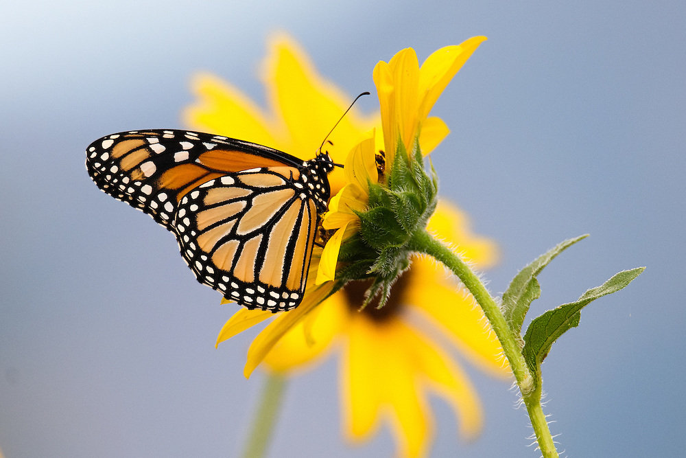 Monarch Butterfly (danaus plexippus) on sunflower in Boulder, Colorado